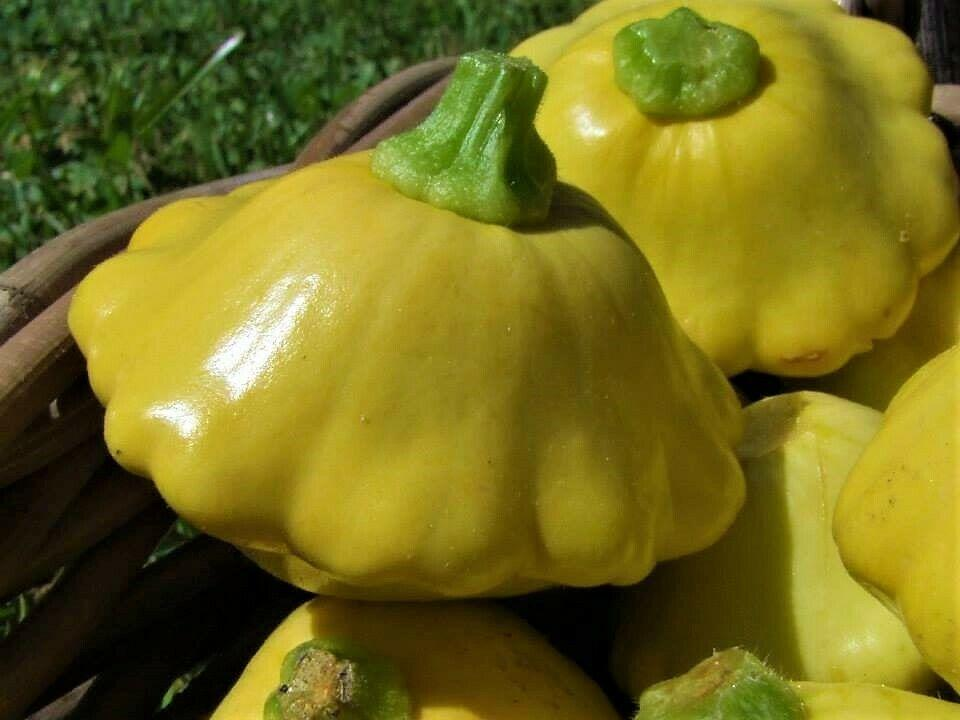 Squash Button Yellow scallop -  Organic Heirloom vegetable seed Australia LifeForce Seeds