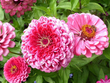 Load image into Gallery viewer, Zinnia, Exquisite - LifeForce Seeds