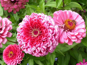 Zinnia, Exquisite - LifeForce Seeds