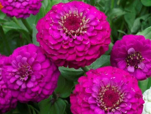 Zinnia, Purple Prince -  Organic Heirloom vegetable seed Australia LifeForce Seeds