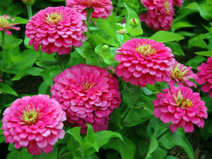 Zinnia, Lilliput Rose -  Organic Heirloom vegetable seed Australia LifeForce Seeds