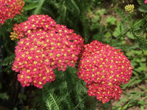 Achilllea millefolium Red - LifeForce Seeds