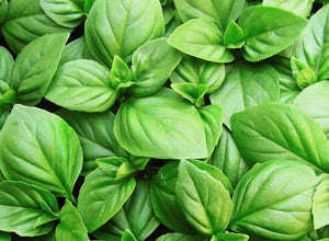 Basil Sweet Genovese - LifeForce Seeds