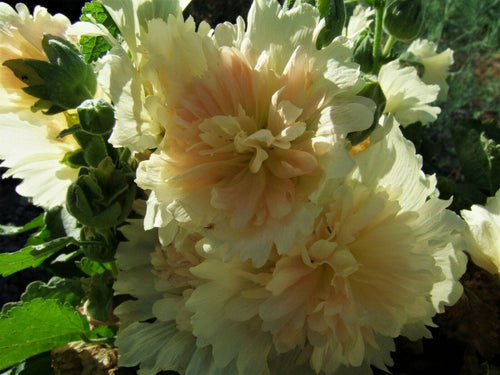Hollyhock, Spring Celebrity Apicot -  Organic Heirloom vegetable seed Australia LifeForce Seeds