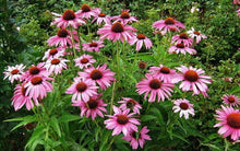 Load image into Gallery viewer, Echinacea Purpurea Magnus -  Organic Heirloom vegetable seed Australia LifeForce Seeds