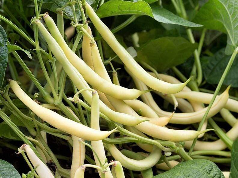 Bean Bush Cherokee Wax - LifeForce Seeds