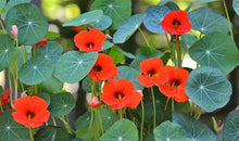 Load image into Gallery viewer, Nasturtium Empress of India - LifeForce Seeds