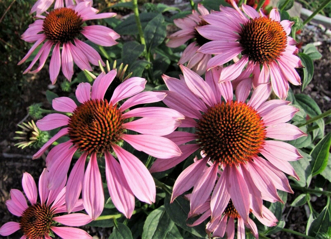 Echinacea Purpurea Magnus -  Organic Heirloom vegetable seed Australia LifeForce Seeds