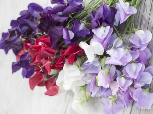Sweet Pea, Royal Family Mix -  Organic Heirloom vegetable seed Australia LifeForce Seeds