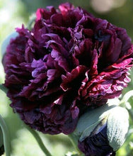 Load image into Gallery viewer, Poppy Peony Double Black -  Organic Heirloom vegetable seed Australia LifeForce Seeds