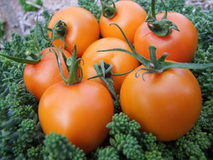 Tomato, Orange Jaune Flamme -  Organic Heirloom vegetable seed Australia LifeForce Seeds