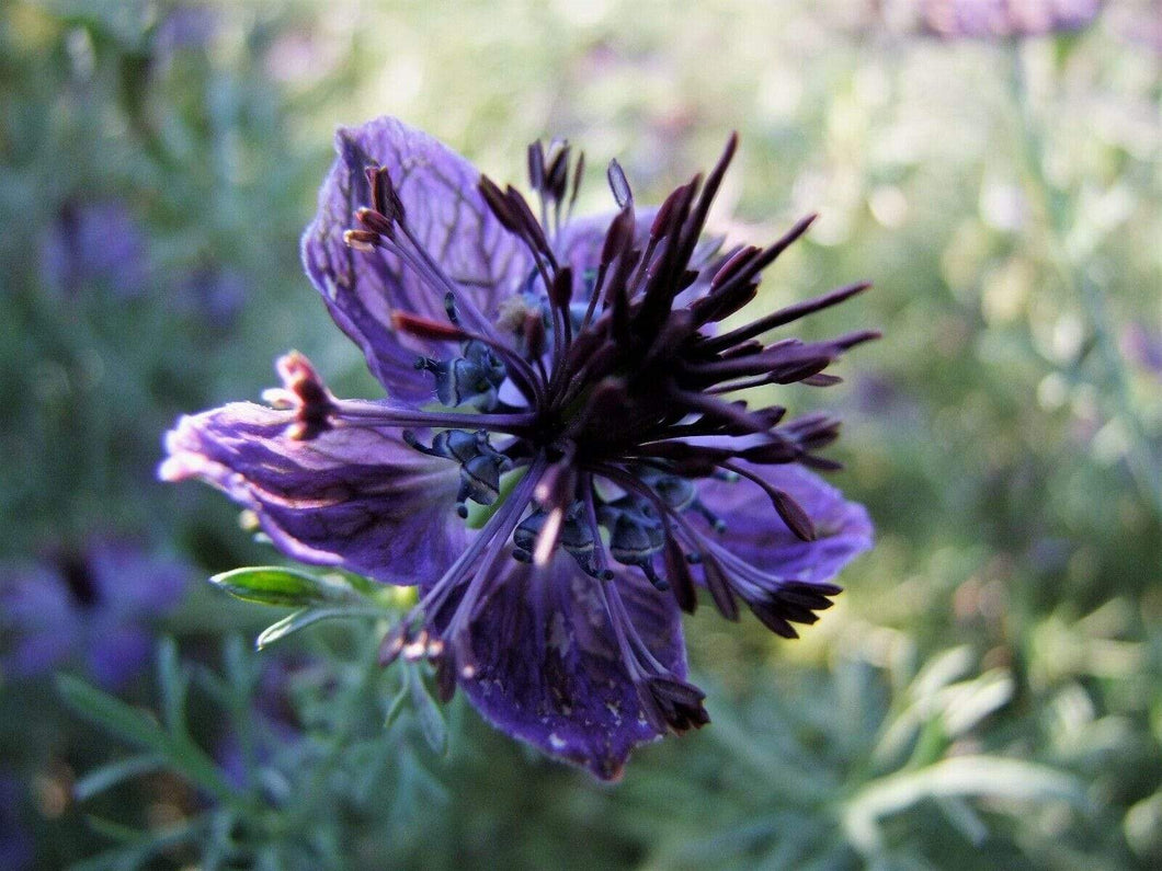 Nigella Midnight -  Organic Heirloom vegetable seed Australia LifeForce Seeds