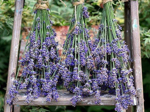 Lavender True -  Organic Heirloom vegetable seed Australia LifeForce Seeds