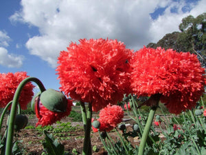 Poppy Peony Double Coral Pink -  Organic Heirloom vegetable seed Australia LifeForce Seeds