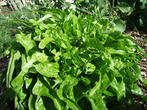Lettuce Royal Oakleaf Green -  Organic Heirloom vegetable seed Australia LifeForce Seeds