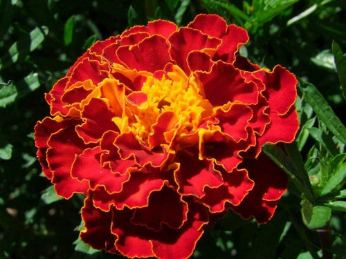 Marigold French Spanish Red Brocade -  Organic Heirloom vegetable seed Australia LifeForce Seeds