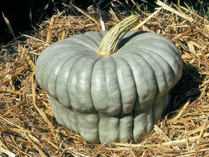 Pumpkin, Queensland Blue -  Organic Heirloom vegetable seed Australia LifeForce Seeds