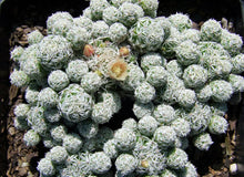 Load image into Gallery viewer, Cactus Mammillaria gracilis - LifeForce Seeds