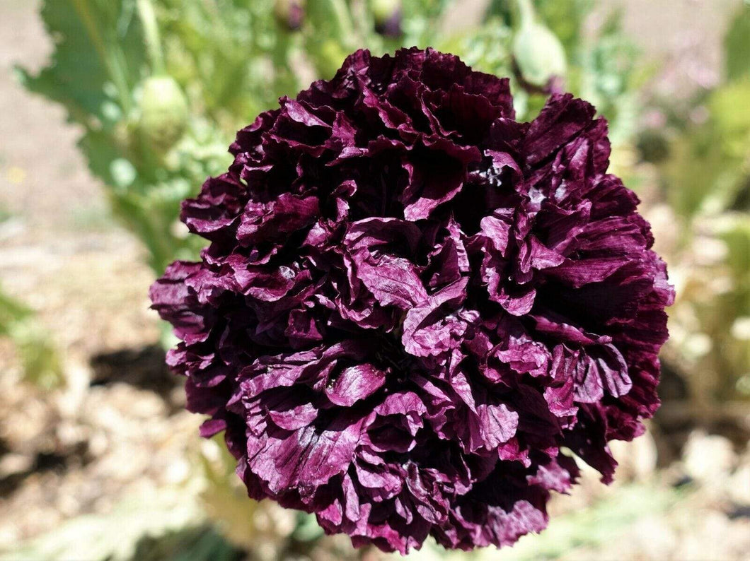 Poppy Peony Double Black -  Organic Heirloom vegetable seed Australia LifeForce Seeds