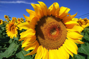 Sunflower Giant Russian - LifeForce Seeds
