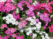 Load image into Gallery viewer, Phlox Fragrant Mix - LifeForce Seeds