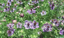 Load image into Gallery viewer, Nigella Midnight -  Organic Heirloom vegetable seed Australia LifeForce Seeds