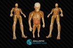 Ballistics Gel Male Body