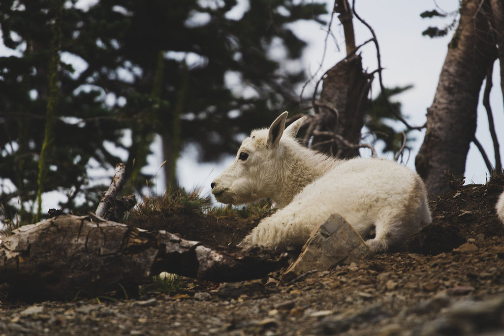 Mountain Goat at Rest