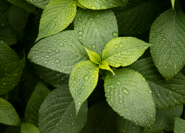 fresh mint in a garden with droplets of water