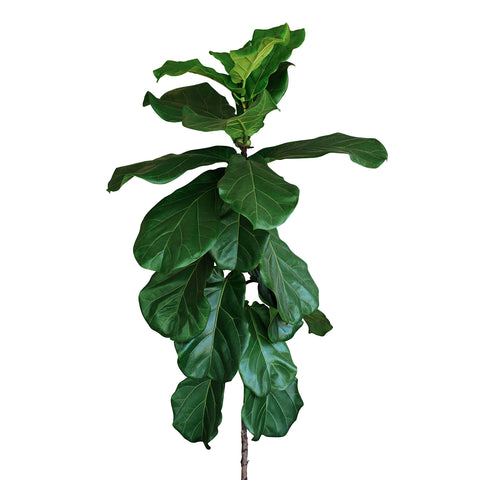 fiddle leaf fig nutrients