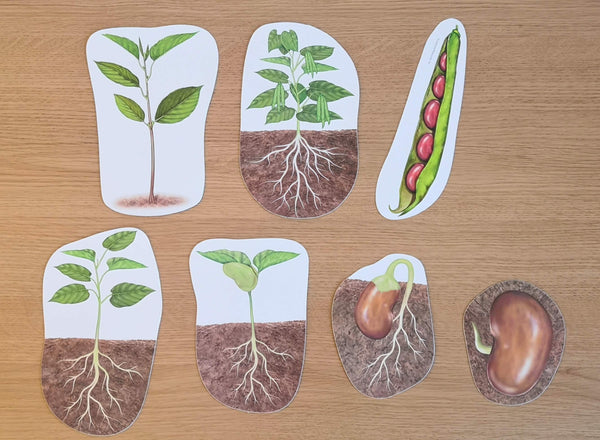 plant life cycle - apple tree and bean plant
