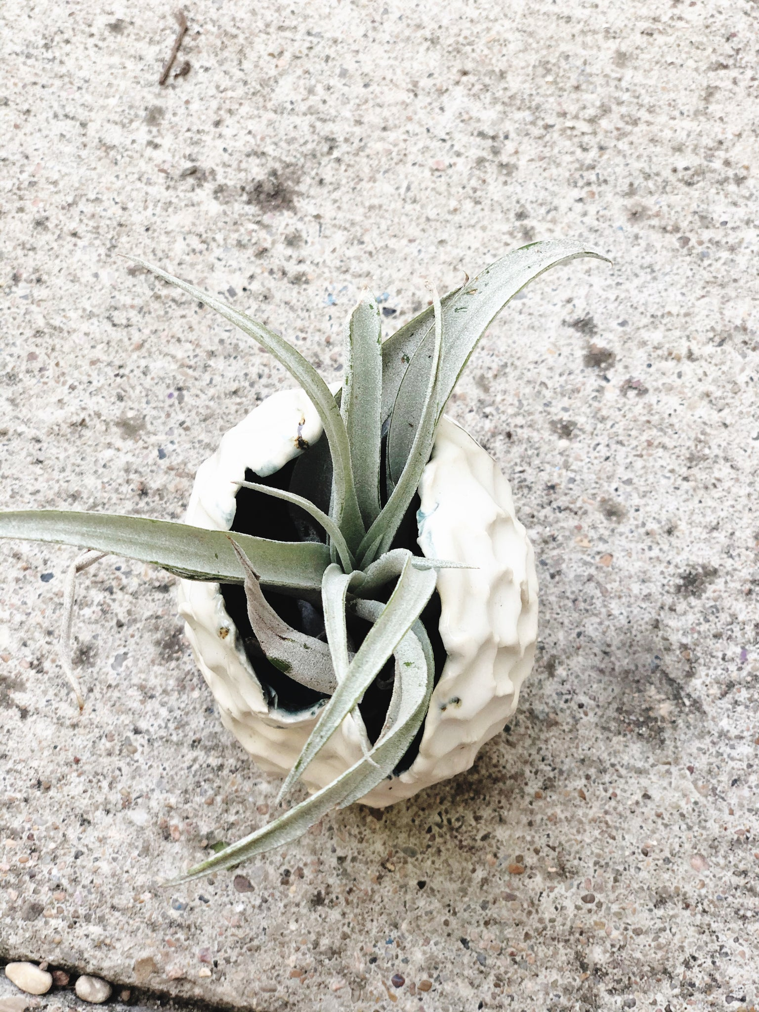 Pinched Porcelain Pod Vessel with Large Tillandsia - Plants and Pots Shop