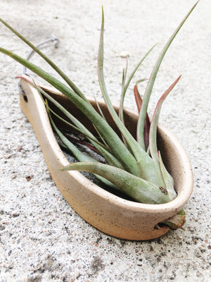 Speckled Teardrop Air Plant Hanger with Large Tillandsia - Plants and Pots Shop
