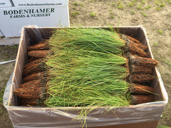 Full Box of Longleaf Seedlings (334)