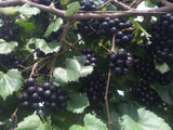 9 pak of Noble Muscadine containerized clone vine start