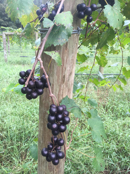Noble Muscadine containerized clone vine start