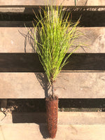 Sonderegger Pine  Rare Naturally occurring hybrid (Longleaf x Loblolly)