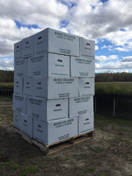 25 boxes of Longleaf pine seedlings (7500 seedlings)