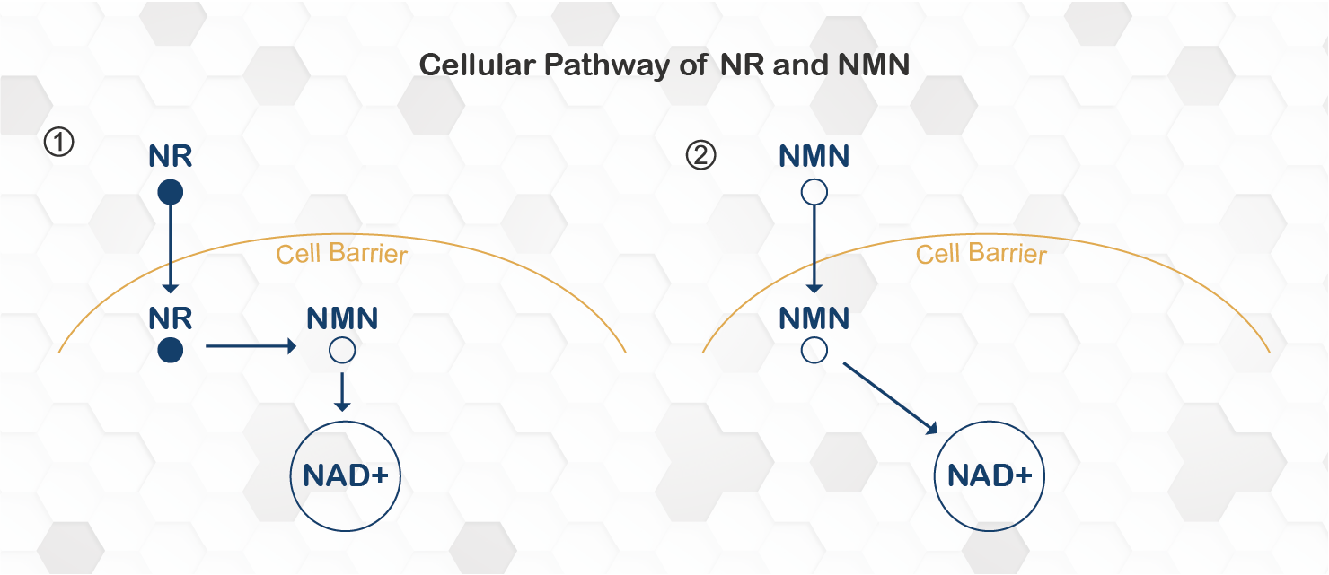 cellular pathway of nmn and nr