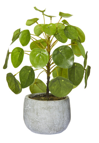 Money Plant w Cement Pot