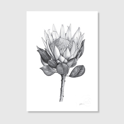 King Protea A4 Art Print