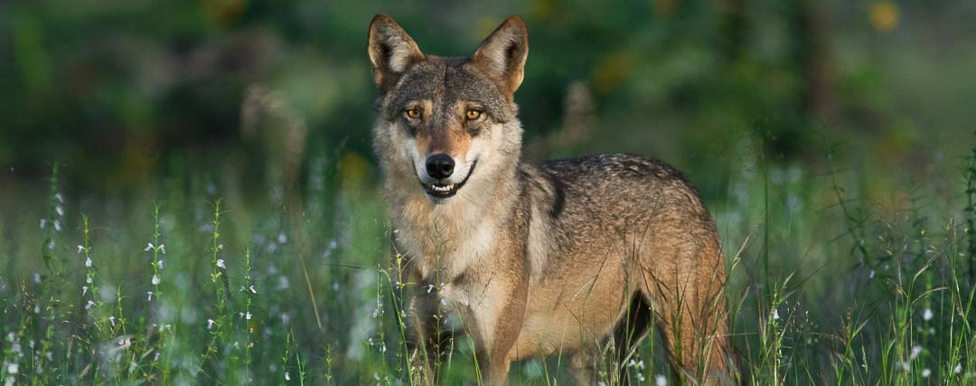 loup des indes canis indica