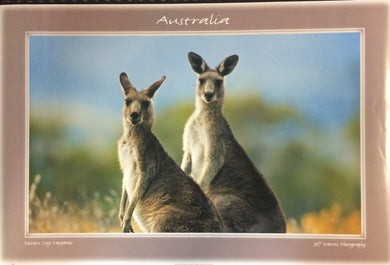 Eastern Gray Kangaroos