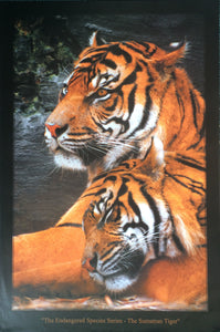 Sumatran Tiger - Endangered