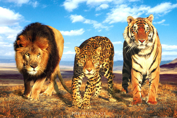 Three Wild Cats