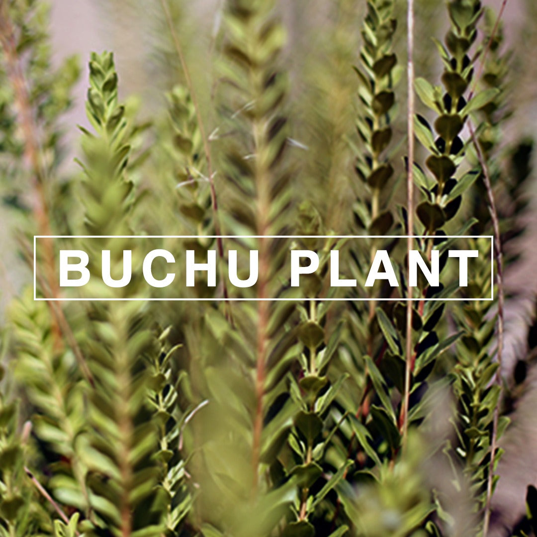 Buchu: South Africa's Ancient 'Miracle Herb'.