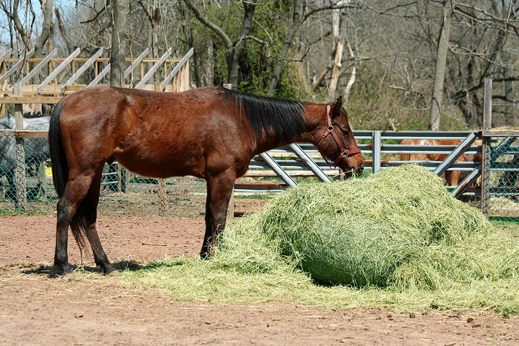 Is Alfalfa Hay Good for Horses?