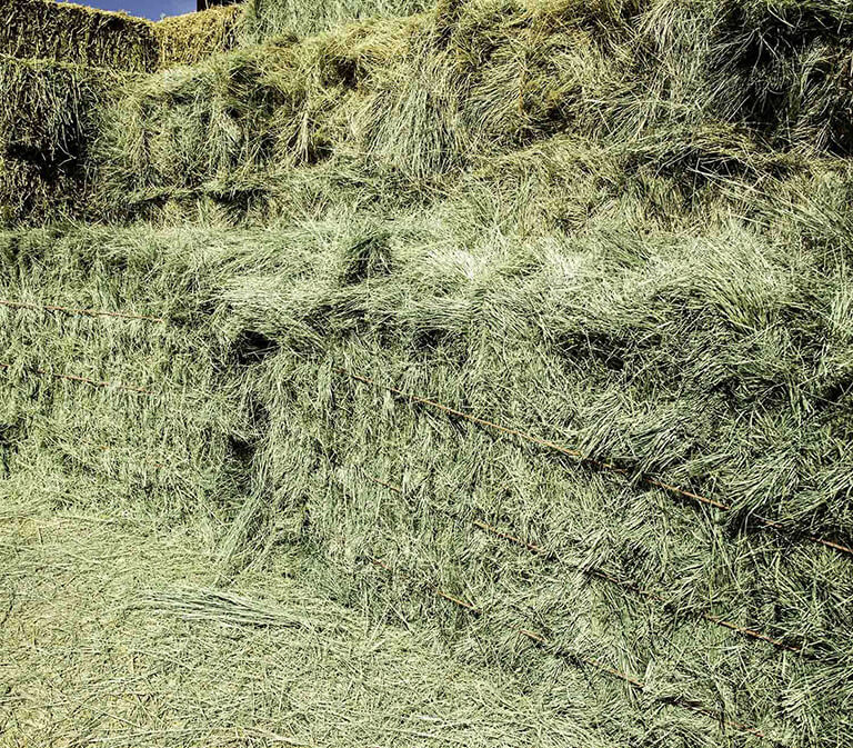Because Bermuda hay is hard to digest, many believe that it can cause colics in horses