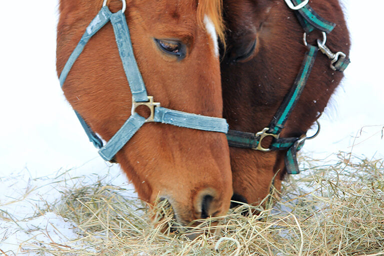 Is it good for your horses to have access to hay whenever they want?