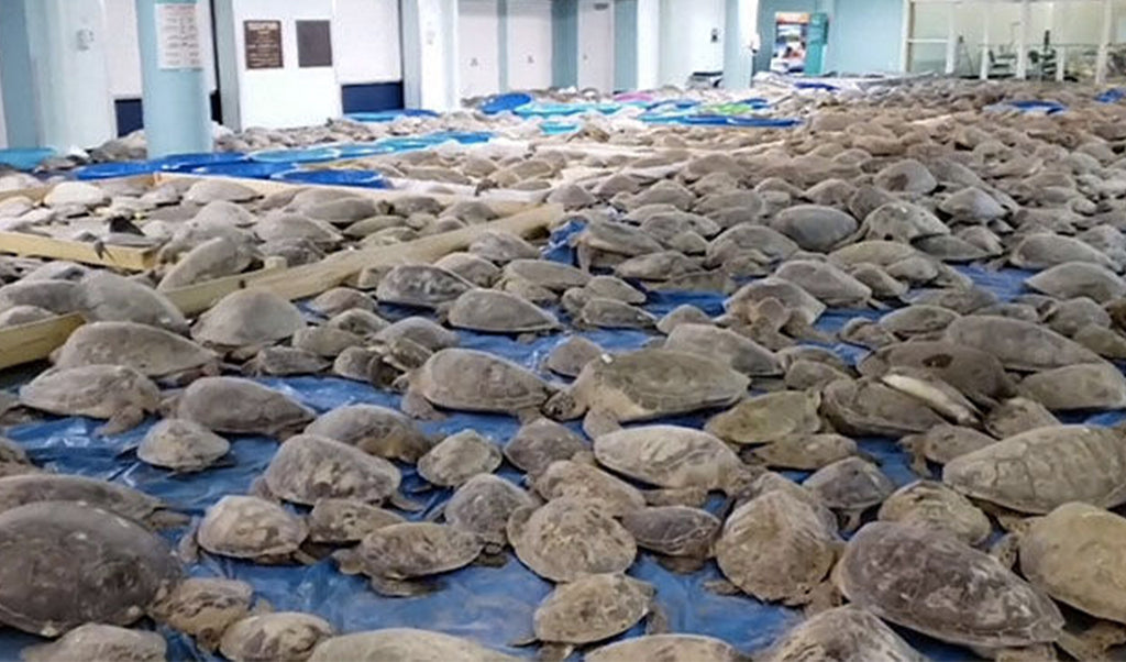 Historic Cold Wave in Texas: Thousands of Half-Frozen Sea Turtles Rescued